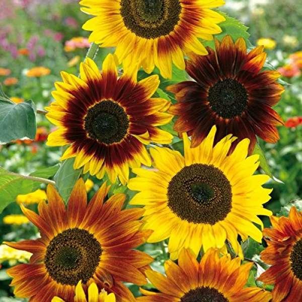 Kiepenkerl Sonnenblume Fantasia Mix