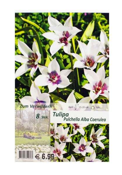 Tulipa Pulchella Alba Coerulea
