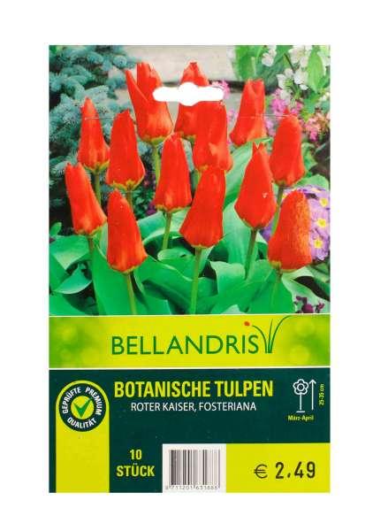 Bellandris Botanische Tulpen Rot