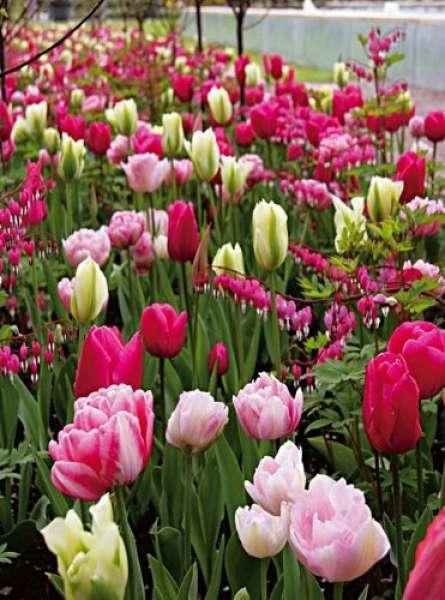 """Romantische Tulpen-Mischung """"Heiße Liebe"""""""