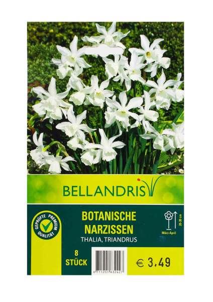Bellandris Botanische Narzissen Weiß