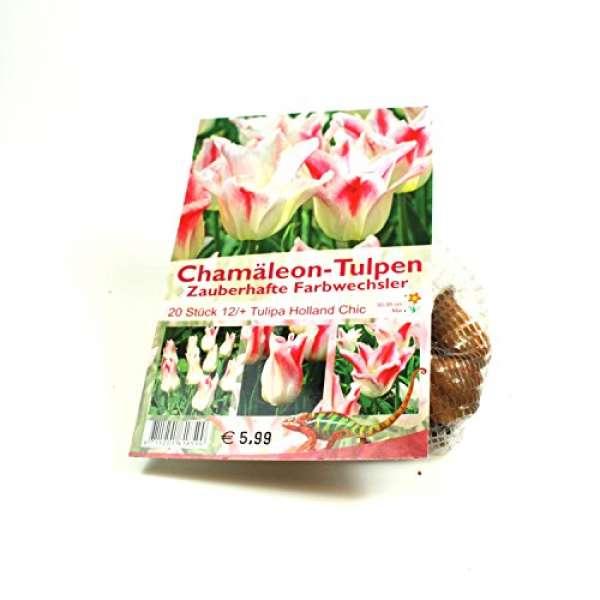 """Chamäleon-Tulpen """"Tulipa Holland Chic"""""""