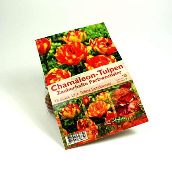 """Chamäleon-Tulpen """"Tulipa Sundowner"""""""
