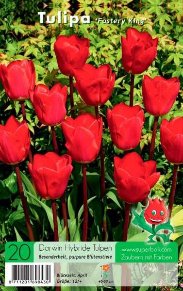 Darwin Hybride Tulpen Rot